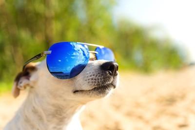 サングラスをかけて太陽を見る犬