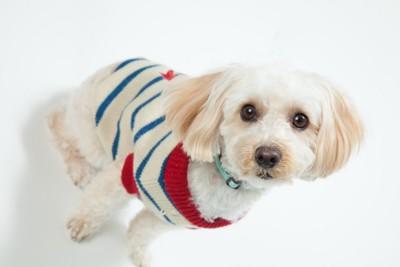 洋服を着ている犬