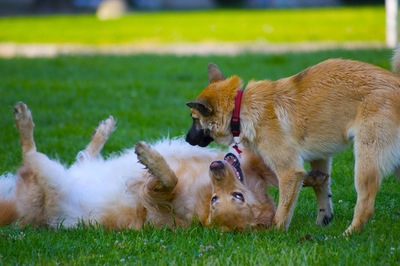 芝生の上で仰向けになる犬と見つめる犬