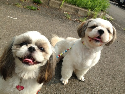Image result for shih tzu 犬 目を見て