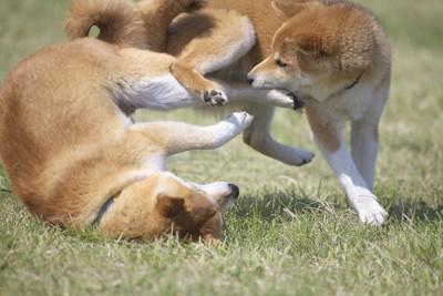 じゃれ合う二頭の柴犬