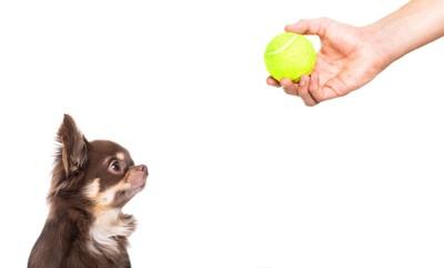 テニスボールを持つ人の手を見つめる犬
