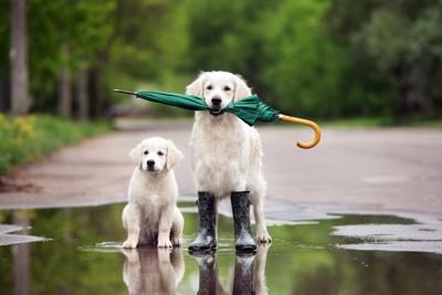 水たまりの中で傘をくわえているゴールデン