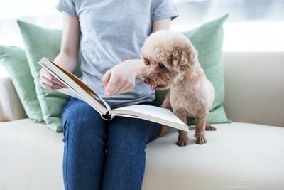 飼い主と一緒にソファーで本を見るトイプードル