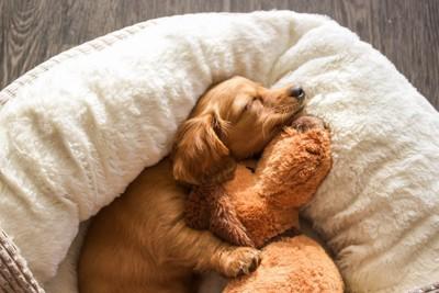 ぬいぐるみと眠るダックスフンド