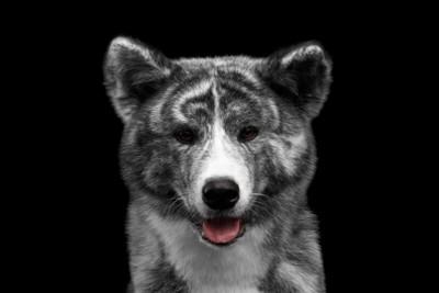 正面を見つめる秋田犬