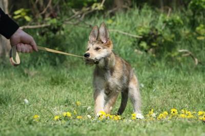 リードを引く人の手と踏ん張って抵抗する犬