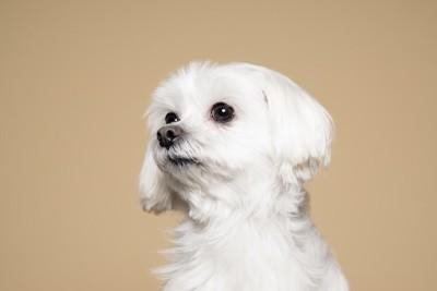 何かを見つめる白い犬の横顔