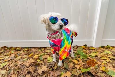 パリピな服を着た犬