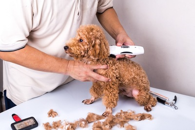 バリカンでトイプードルの毛を刈る