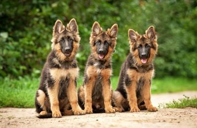 並んで座る3匹の若いジャーマンシェパード