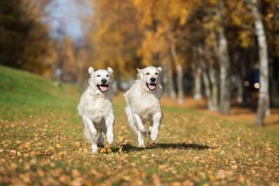 秋の道を走る二頭のゴールデンレトリバー