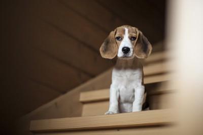 階段の途中で座る悲しげな犬