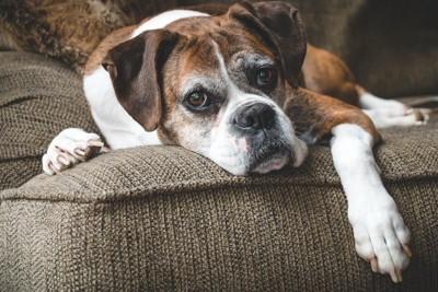 ソファーでくつろぐボクサー犬