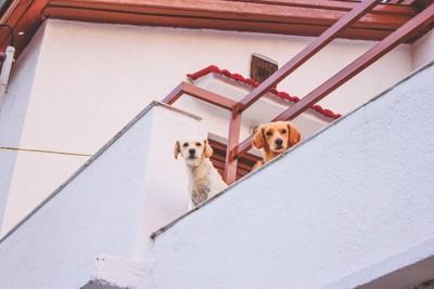 バルコニーから外を眺めている二頭の犬