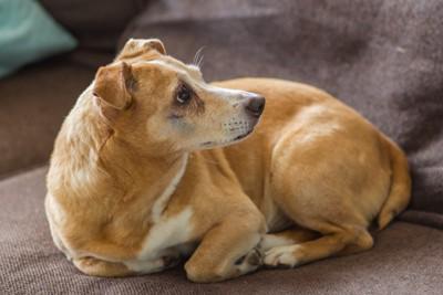 ソファーの上で丸まる犬