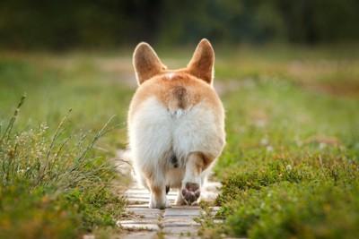小道を歩くコーギーの後ろ姿