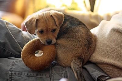おもちゃを加える犬