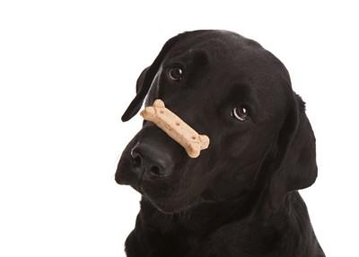 オヤツを鼻に乗せて待つ犬