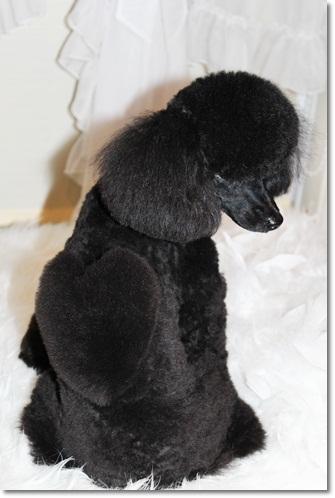 黒毛のトイプードルのハートカット