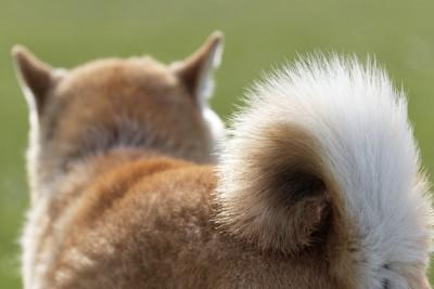 柴犬の後ろ姿としっぽのアップ