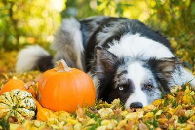 かぼちゃと紅葉と横になる犬