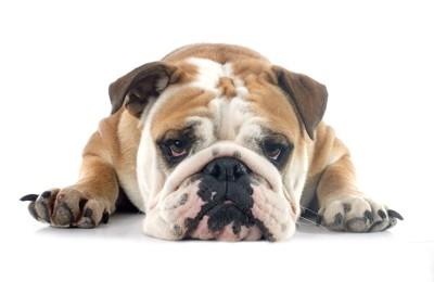 こちらを不満そうに見つめる犬