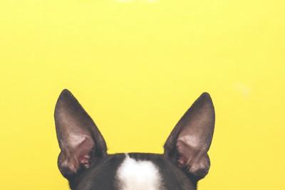 黄色の背景と黒い犬の耳