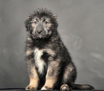 コーカシアンシェパードドッグの子犬