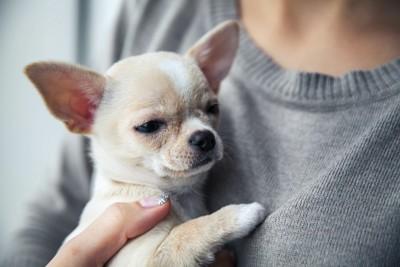 抱かれているチワワの子犬