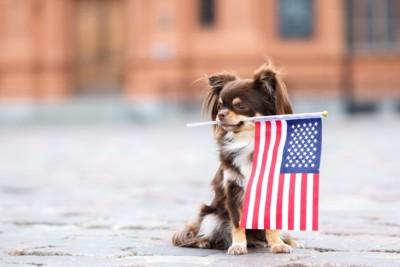 アメリカ国旗を咥えたチワワ