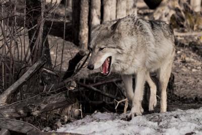 口を開けた狼