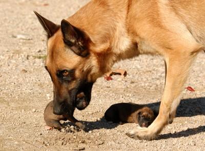 子犬を咥える犬