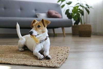 骨の形のおやつを咥えている犬