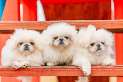 3頭の白いペキニーズ