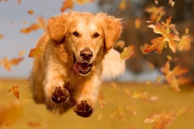 落ち葉の中を駆け抜けるゴールデンレトリバー