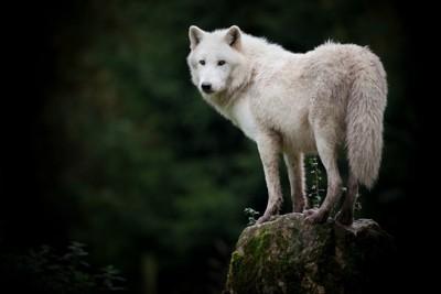 振り向く白い狼