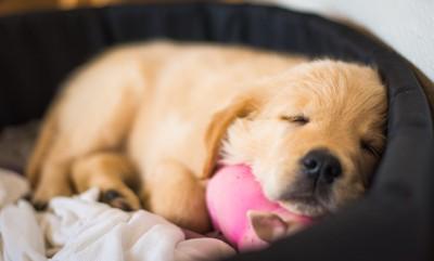 犬用ベットで眠る子犬
