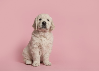 ゴールデンの子犬、ピンクの背景