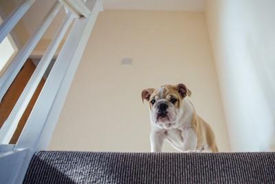 階段のうえから下を見る犬