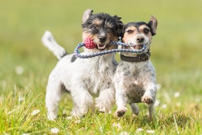 おもちゃをくわえている二頭の犬