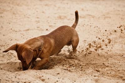 穴を掘るミニチュアダックスフンド