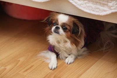 家具の下から見つめる犬