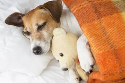ぬいぐるみを抱えて寝ている犬