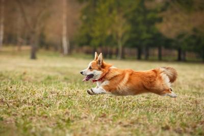 芝生の上を走るペンブローグ