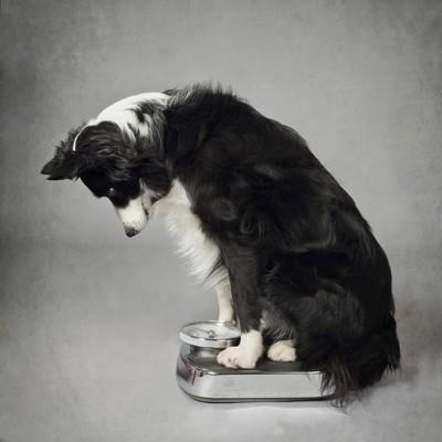 体重計に乗るボーダーコリー