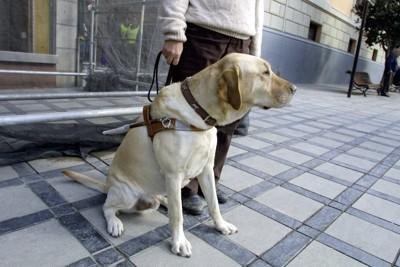 道に座る介助犬のラブラドール