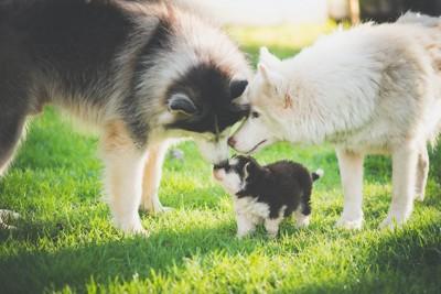 子犬を可愛がる2匹の犬