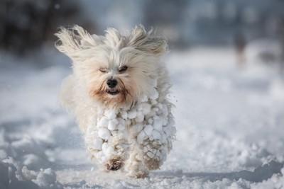 雪玉だらけで走る犬