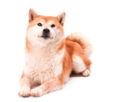 かわいい秋田犬